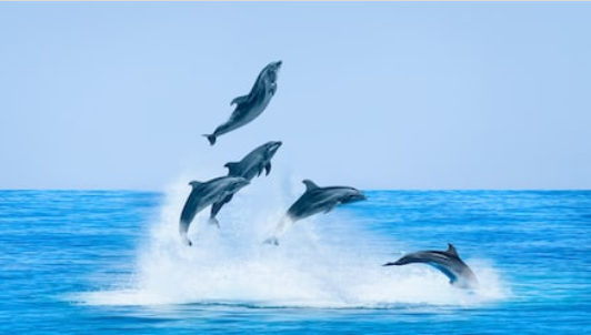 Dolphins_jumping_&_playing_in_water